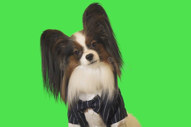 Красивая собака Papillon в деловом костюме с бабочкой на зеленой предпосылке стоковое фото rf