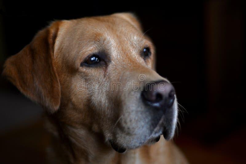 Красивая собака retriever Лабрадора перед изолированной черной предпосылкой стоковая фотография rf
