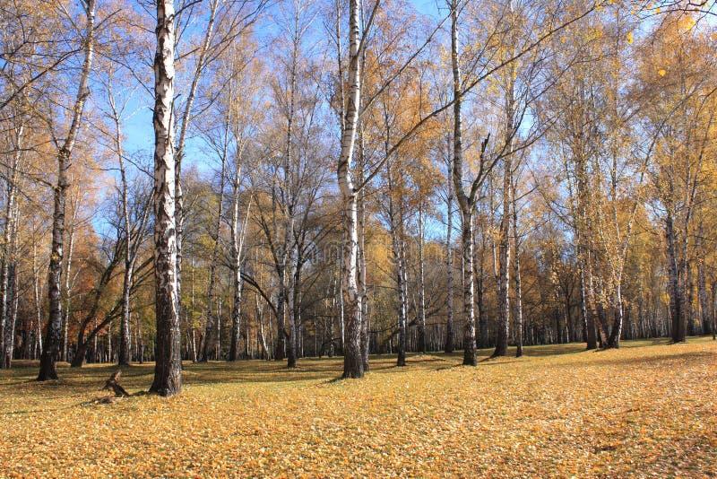 Красивая сцена падения леса осени осенний красивейший парк роща зеленого цвета листва березы может стоковая фотография rf