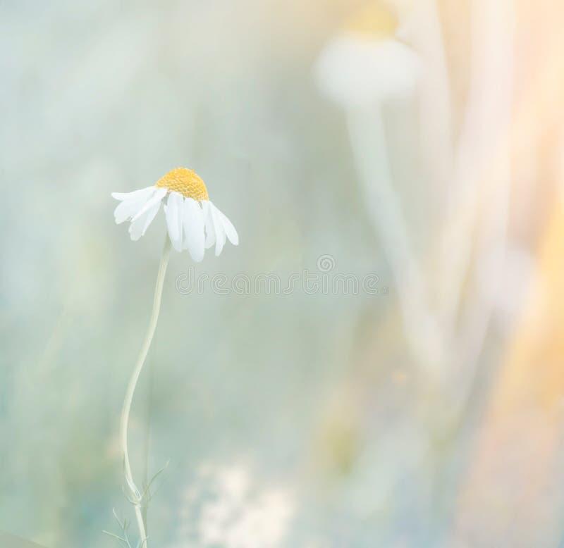 Красивая сцена природы с зацветая маргариткой в солнце стоковые изображения