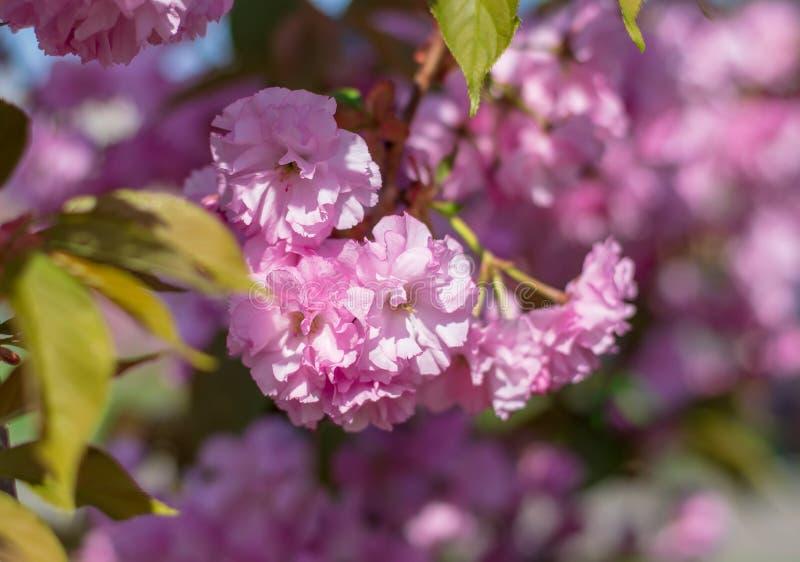 Красивая сцена природы с цветением Сакуры розовым на запачканной красочной предпосылке стоковое изображение rf
