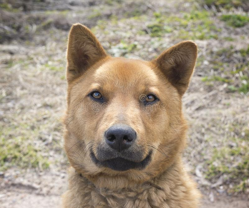 Красивая счастливая коричневая собака усмехаясь в поле, выглядеть как медведь, взгляд в камере стоковое фото