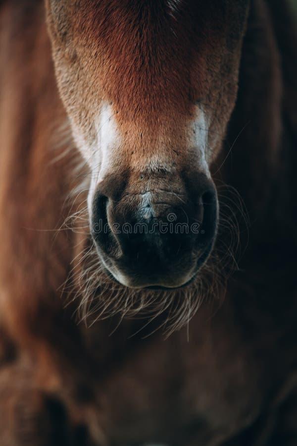 Красивая съемка крупного плана коричневой лошади стоковая фотография rf