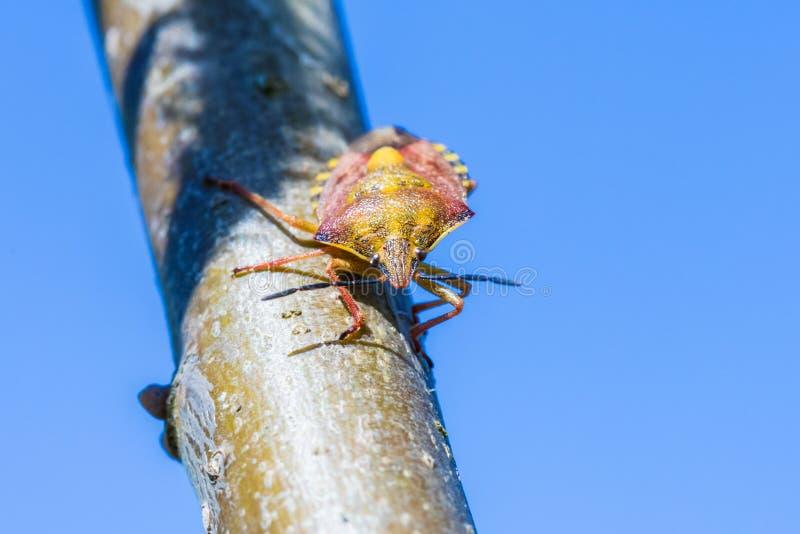 Красивая съемка макроса самостоятельно маленькой ошибки или жука на ветви или хворостине вербы стоковое фото rf