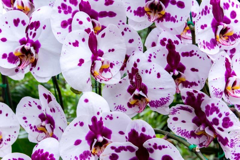 Красивая тайская предпосылка цветков орхидеи стоковые фото