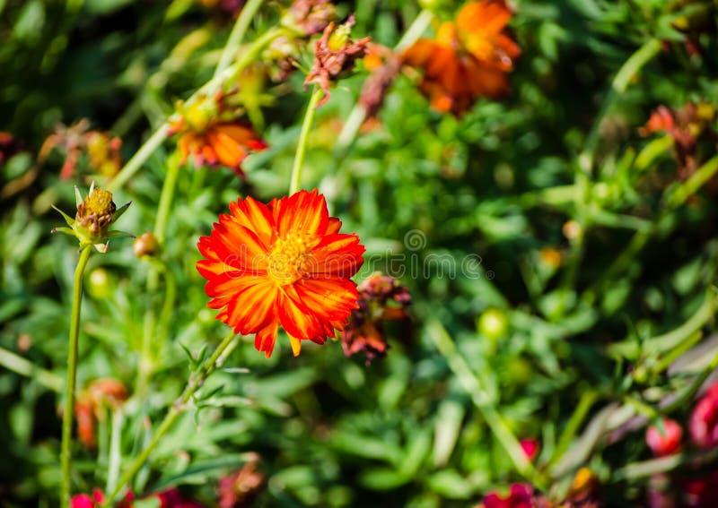 Красивая темнота - оранжевый космос серы в весеннем сезоне на ботаническом саде стоковое изображение rf