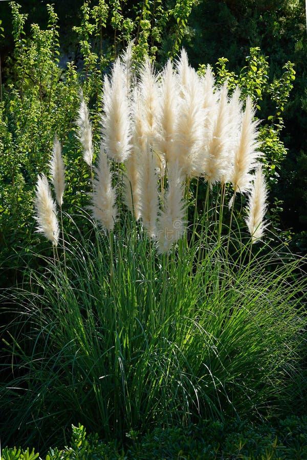 Красивая трава Пампаса в саде стоковое фото rf