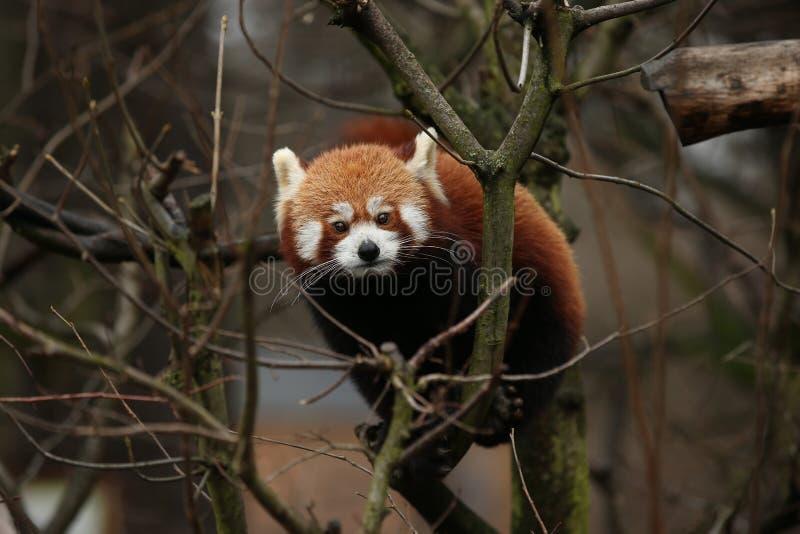 Красивая угрожаемая красная панда на зеленом дереве стоковые фото