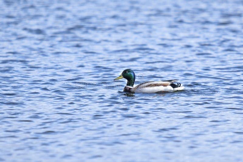 Красивая утка плавает на голубом реке Красивая русская природа Открытое море с волнами и уткой E Ландшафт с уткой стоковая фотография