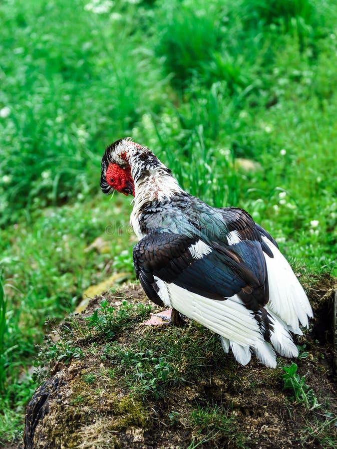 Красивая утка muscovy стоковые фото