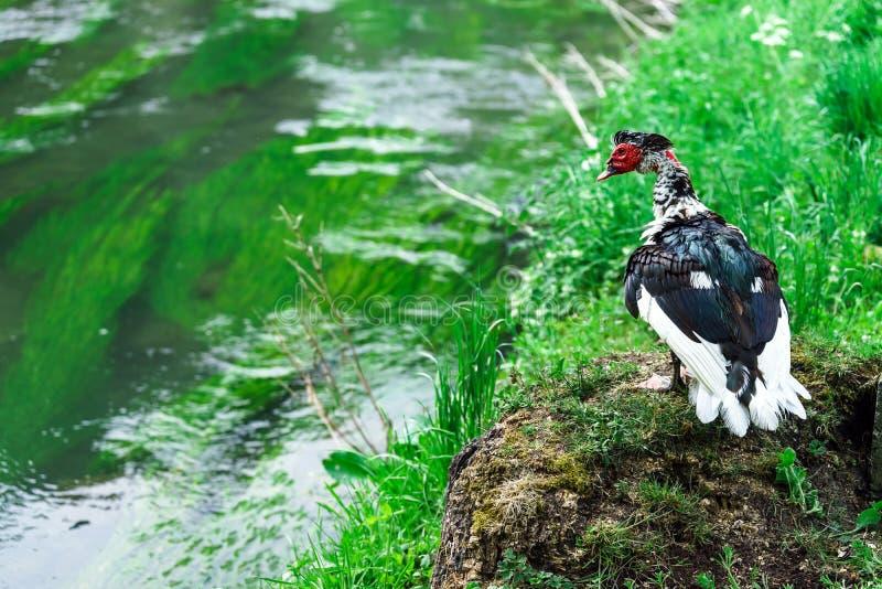 Красивая утка muscovy стоковые фотографии rf