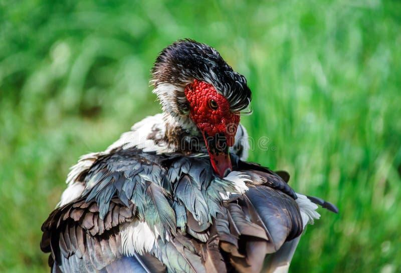 Красивая утка muscovy стоковое фото rf