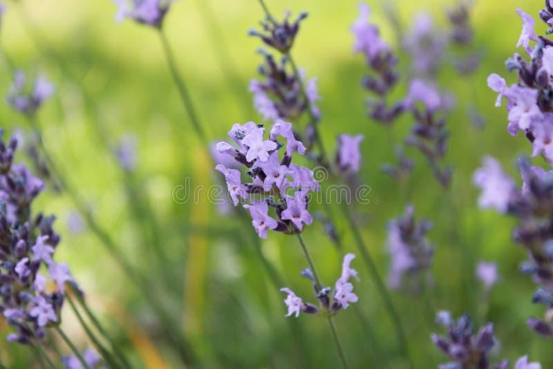 Красивая фиолетовая лаванда на летнем времени стоковая фотография rf