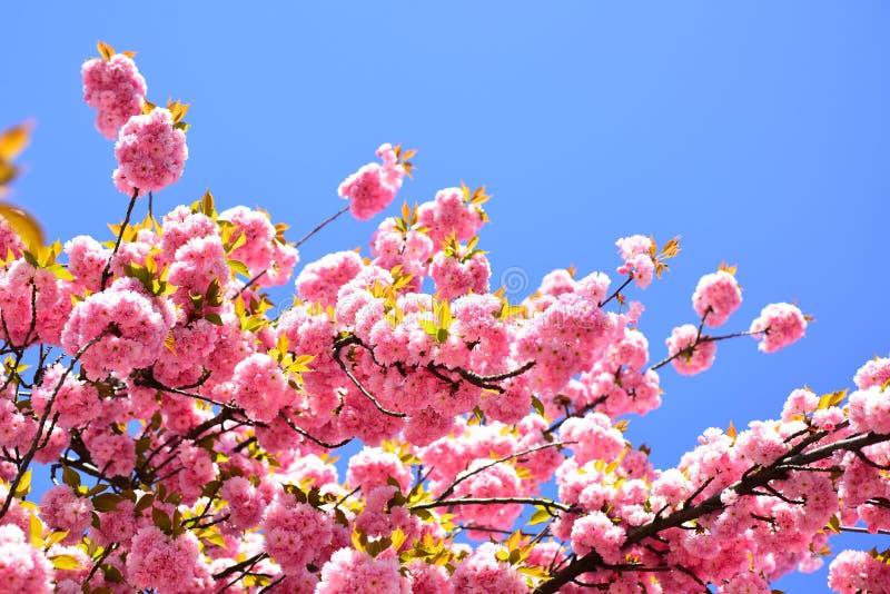 Красивая флористическая предпосылка конспекта весны природы Цветение вишни Вишневое дерево Sacura На пасха и весна стоковая фотография rf