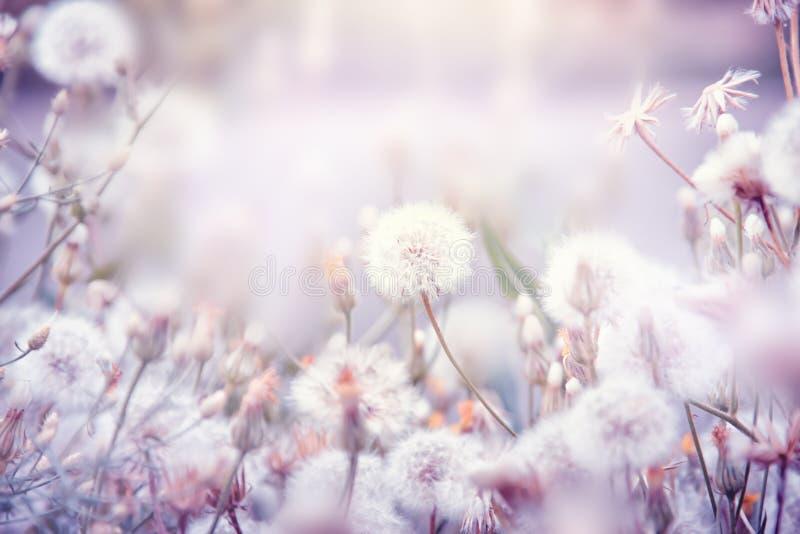 Красивая флористическая предпосылка с цветками одуванчика стоковое изображение rf
