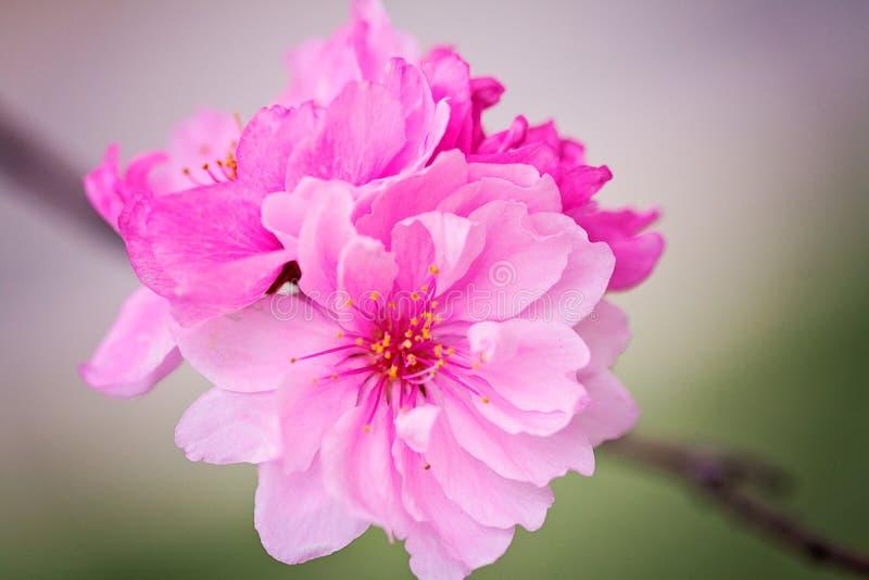 Красивая фотография макроса цветения Яблока стоковые изображения