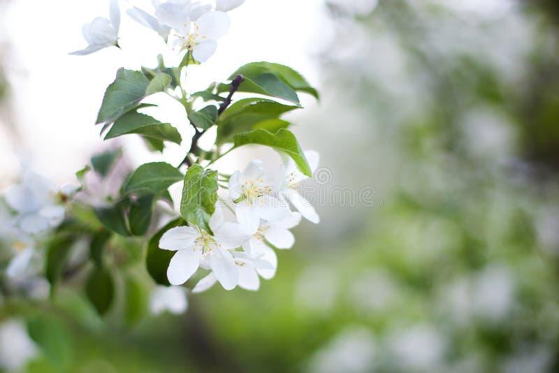 Красивая цветя ветвь яблони Ветвь яблони сада весны зацветая весной Конец-вверх вишневых цветов весной на g стоковое фото rf