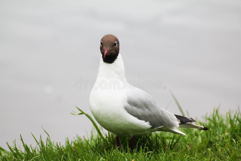 Красивая чайка бравирует на предпосылке озера и зеленой травы стоковое фото rf
