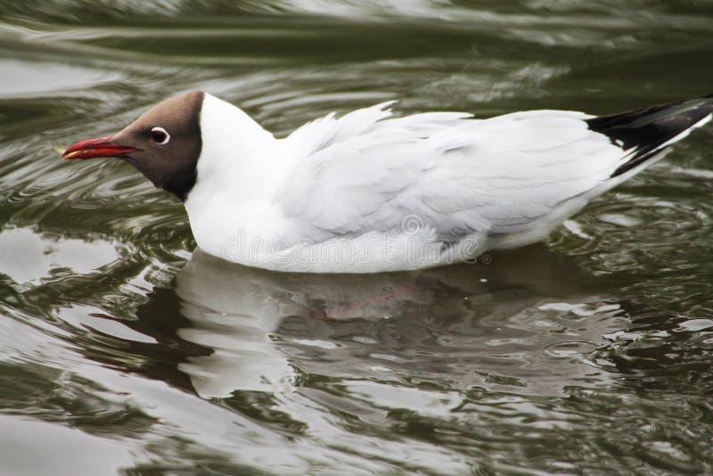 Красивая чайка быстро рассекает волны в воде стоковые изображения rf