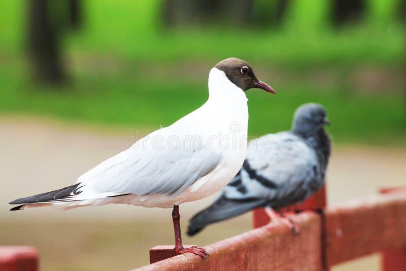 Красивая чайка дружелюбна с голубем стоковая фотография rf