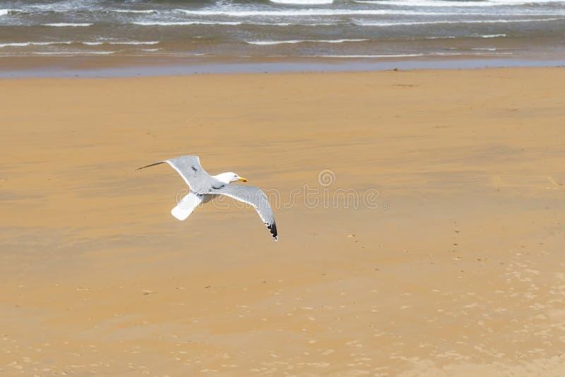 Красивая чайка летает на фоне песчаного пляжа и прибоя океана стоковые фотографии rf