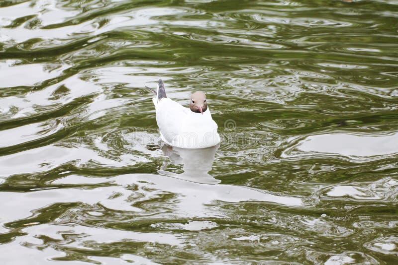 Красивая чайка отдыхает стоковые изображения rf