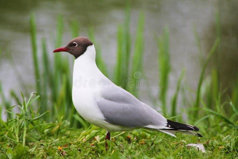Красивая чайка отдыхая на зеленой траве стоковое изображение rf