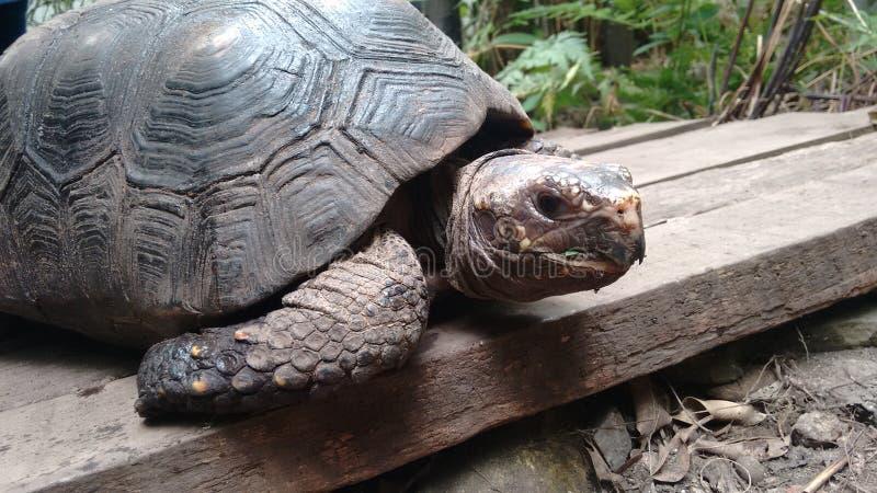 Красивая черепаха земли в biopark стоковые фотографии rf