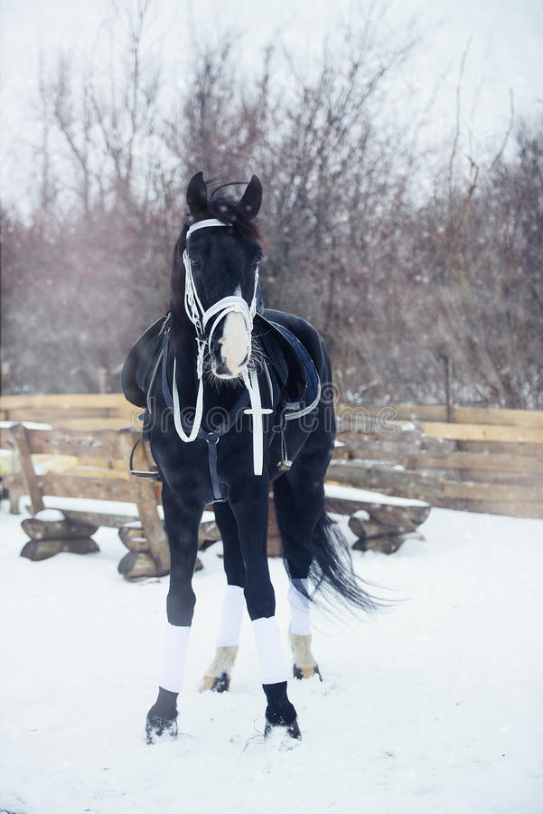 Красивая черная зима лошади стоковые фото