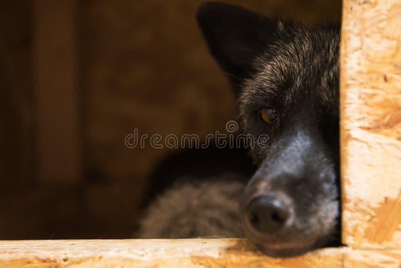 Красивая черная лиса стоковая фотография