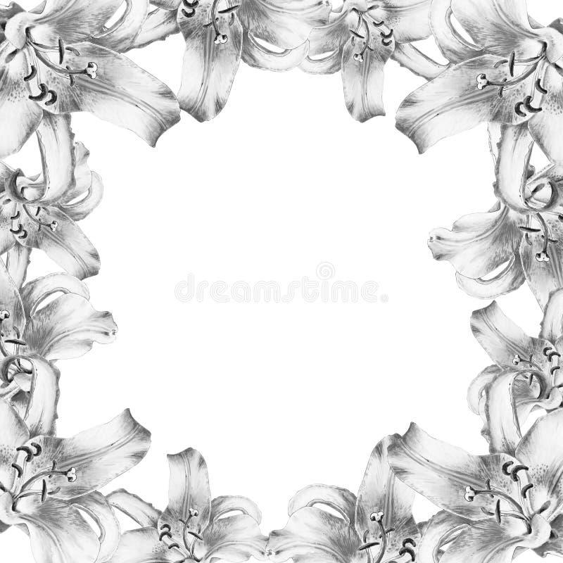 Красивая черно-белая рамка границы лилии E Флористическая печать Чертеж отметки стоковое фото