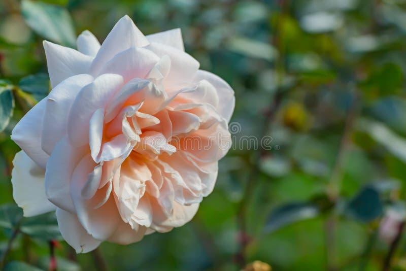 Красивая чувствительная роза пинка цветка на запачканной зеленой предпосылке стоковое изображение rf