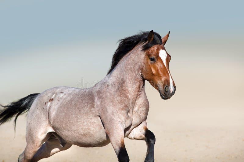 Красивая roan лошадь залива в движении стоковое фото rf