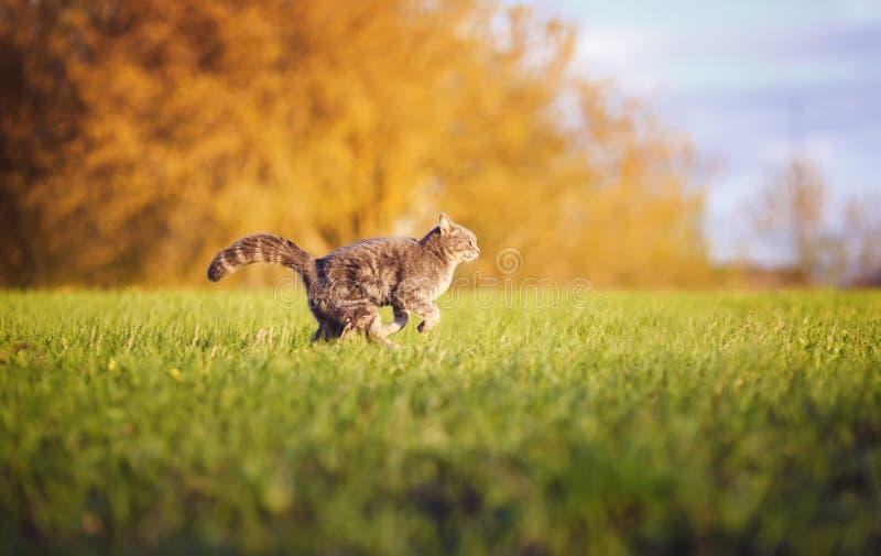 Красивая striped потеха кота и deftly бежать через зеленый луг лета грациозно сгабривая его заднюю часть и кабель стоковые фото