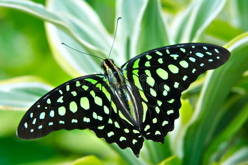 красивейшая бабочка стоковое фото rf