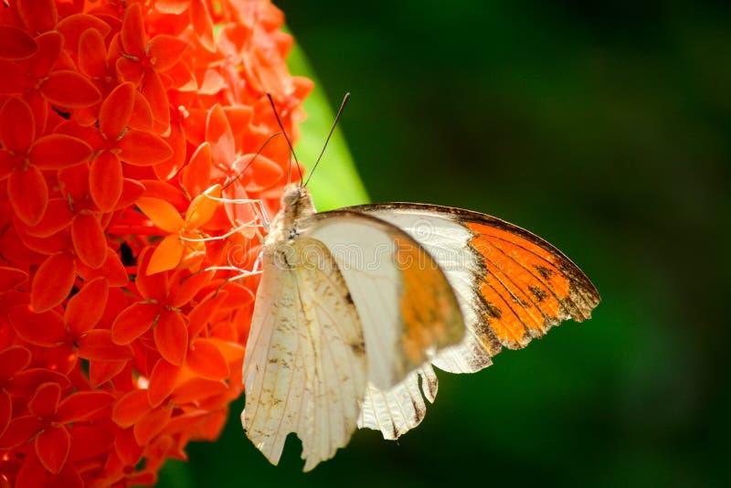 Красивейшая бабочка стоковая фотография rf