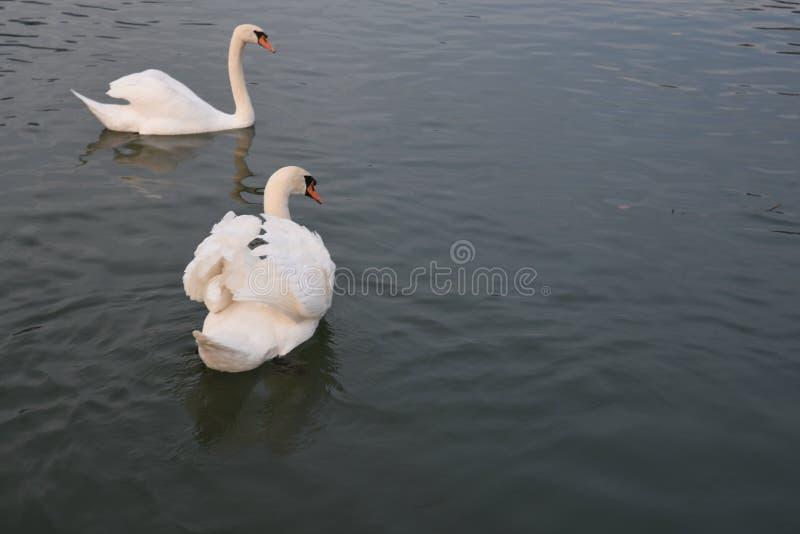 красивейшая белизна лебедя стоковые изображения rf