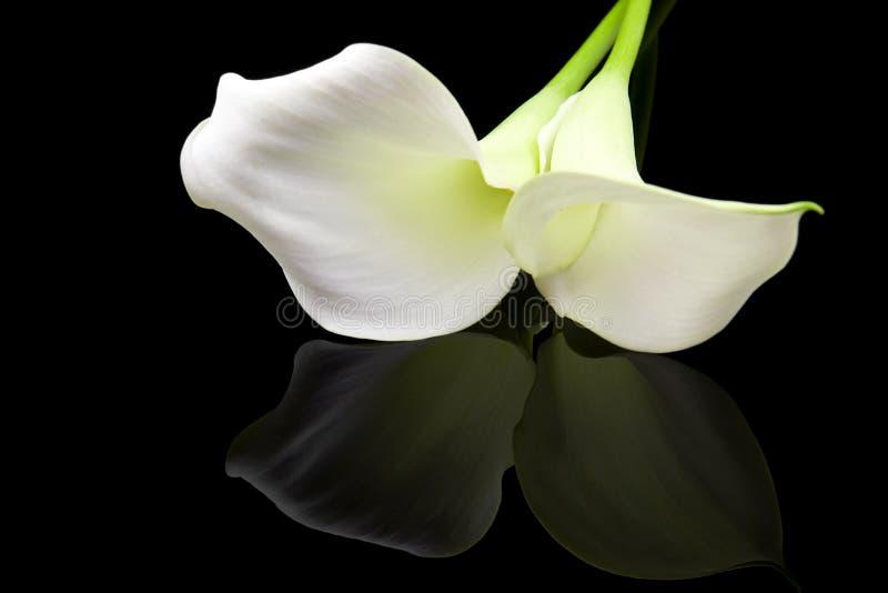 красивейшая белизна лилии calla стоковые изображения rf