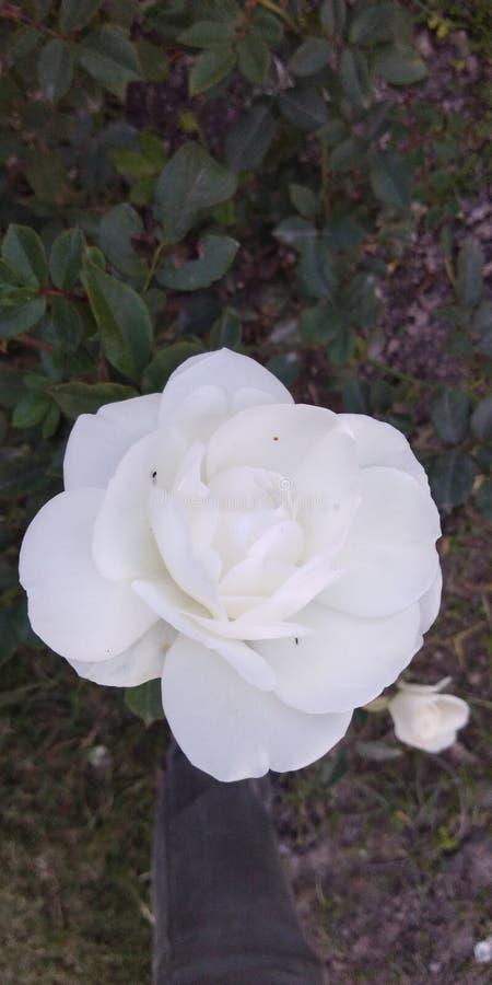 красивейшая белизна розы стоковые изображения rf