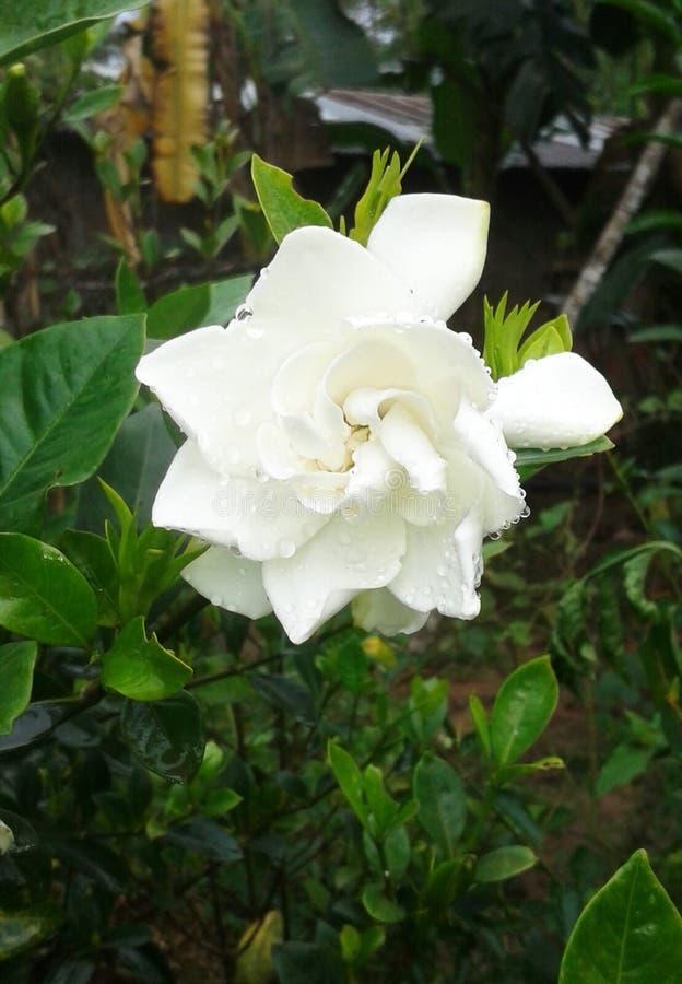 красивейшая белизна цветка стоковые фото