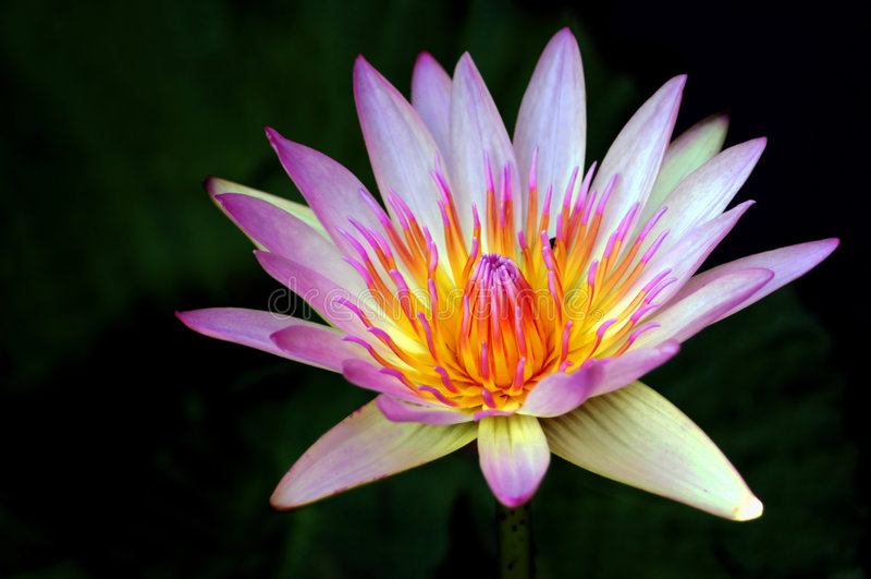 Download красивейшая вода лилии стоковое изображение. изображение насчитывающей blooping - 6852661