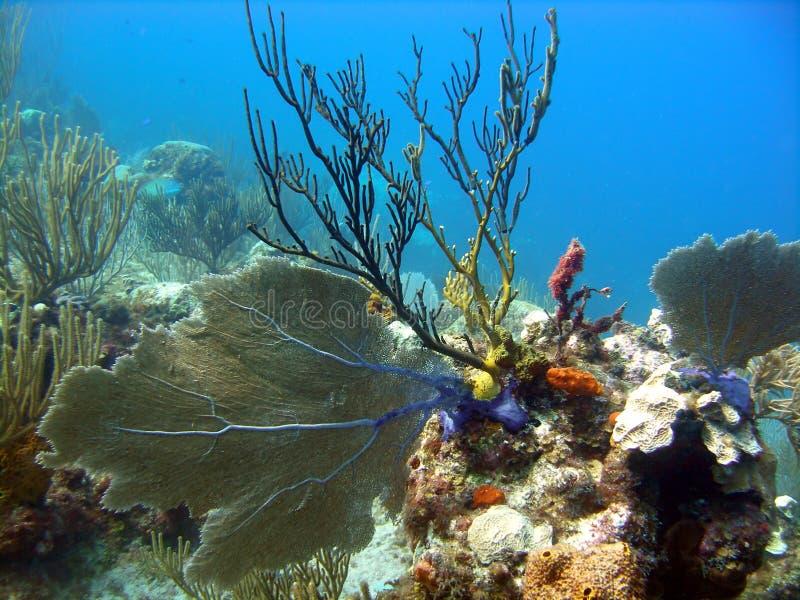 красивейшая головка коралла стоковая фотография rf