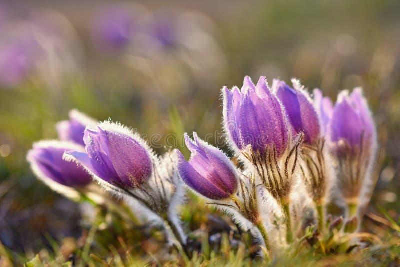 красивейшая зацветая весна цветков Естественная покрашенная запачканная предпосылка (Цветки Pasque - grandis Pulsatilla) стоковая фотография rf