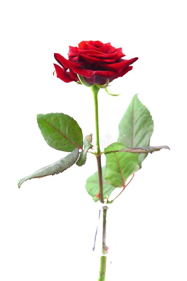 красивейшая изолированная белизна розы красного цвета стоковые изображения rf