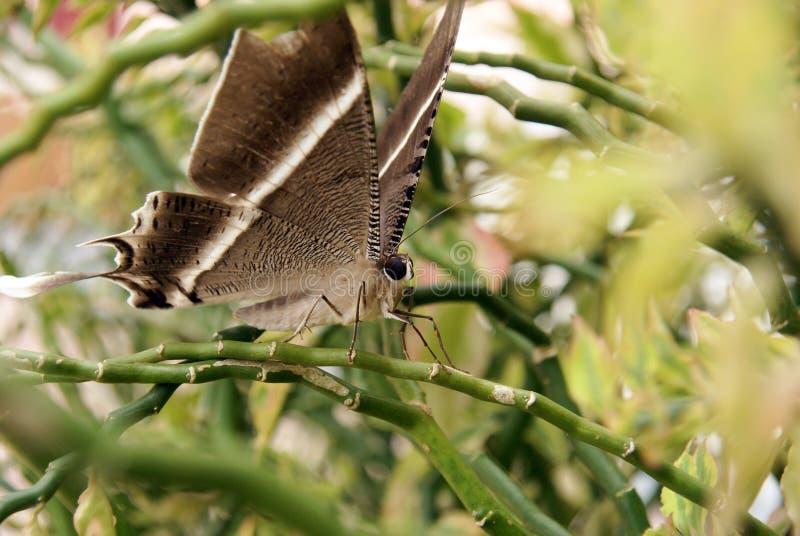 красивейшая коричневая бабочка стоковое изображение rf
