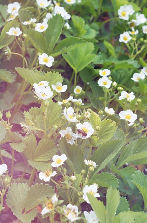 красивейшая клубника весеннего времени цветений цветения стоковые изображения rf
