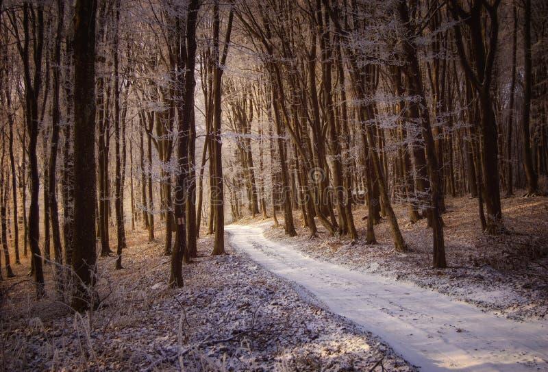 Красивейшая пуща в зиме с снежком и солнечним светом стоковое изображение rf