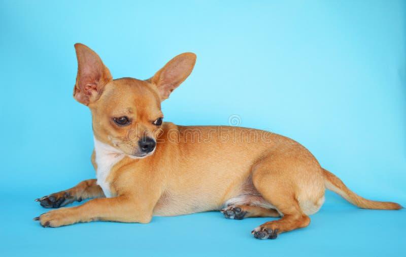 Красивейшая собака чихуахуа стоковая фотография