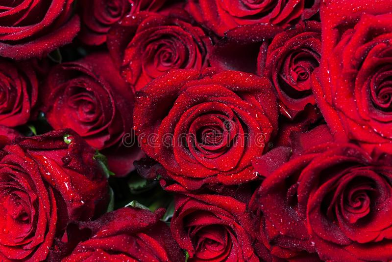Красивейшая флористическая предпосылка предпосылки… с цветастыми цветками Пук больших ярких красных роз с водой падает на их лепе стоковые фото