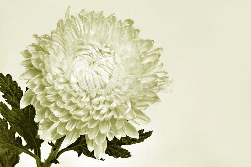 красивейшая хризантема стоковые фото